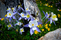 Columbine Near Ptarmigan Lake, RMNP