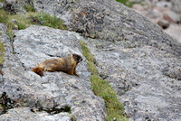 Yellow-Bellied Marmot - Crystal Lake, Rocky Mountain National Park
