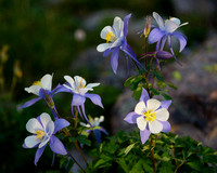 Blue Columbine – Pettingell Lake Area, Rocky Mountain National Park