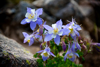 Blue Columbine near Andrews Tarn, RMNP
