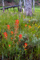 Paintbrush - Upper Beaver Meadows